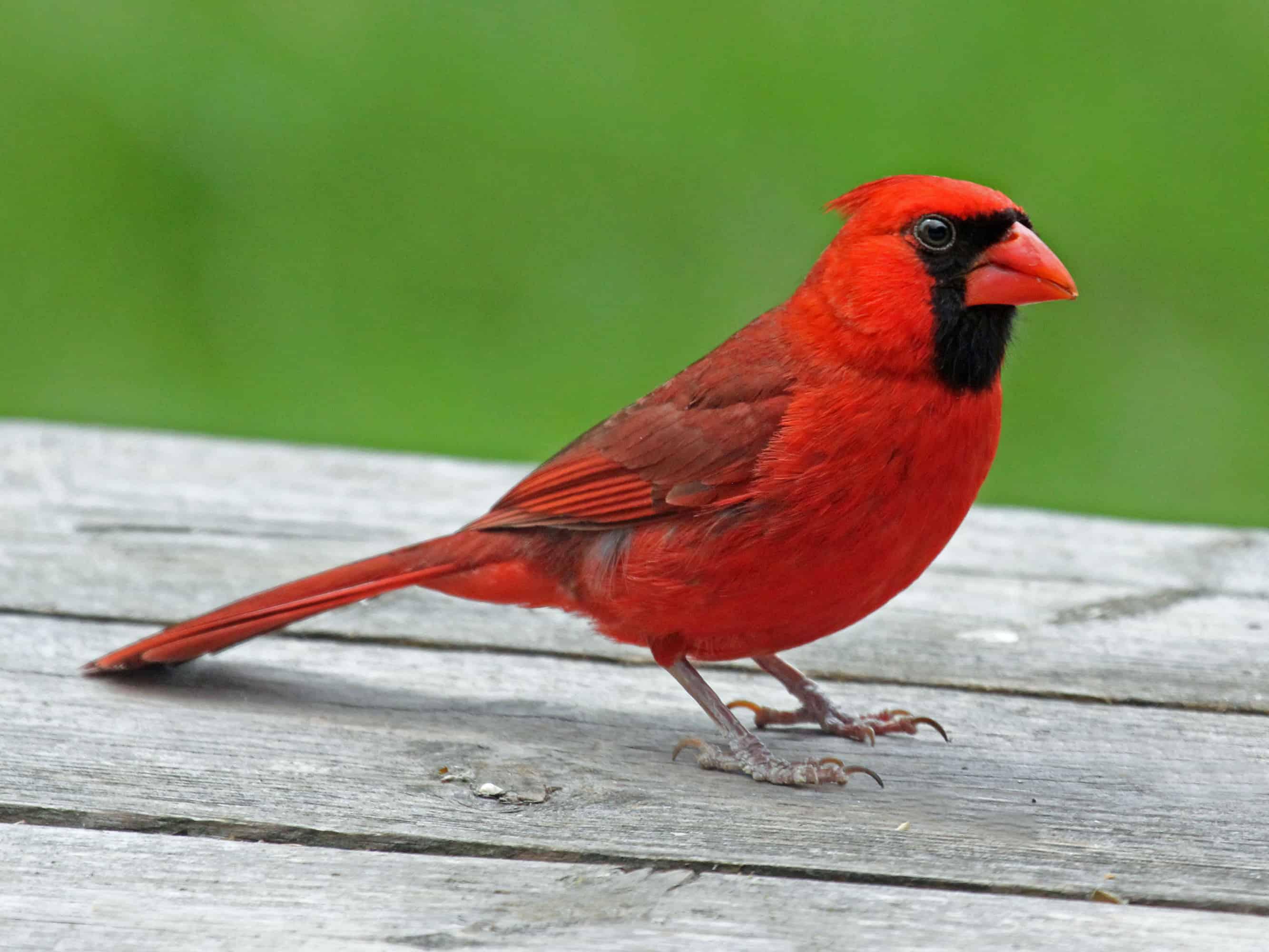 red cardinal symbolism